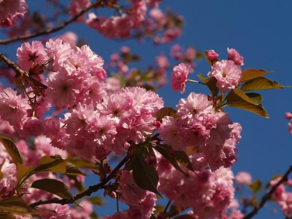 148845441558b8030f6a704 - Закарпатье в цвете сакуры