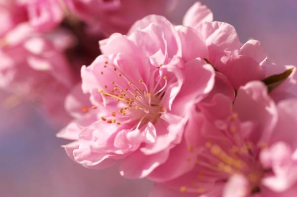 148845442858b8031c009c8 - Закарпатье в цвете сакуры