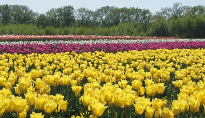 148846879058b83b36a00d4 - Черновцы-Украинский Париж + долина тюльпанов
