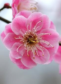 afisha---sakura---3-247x342