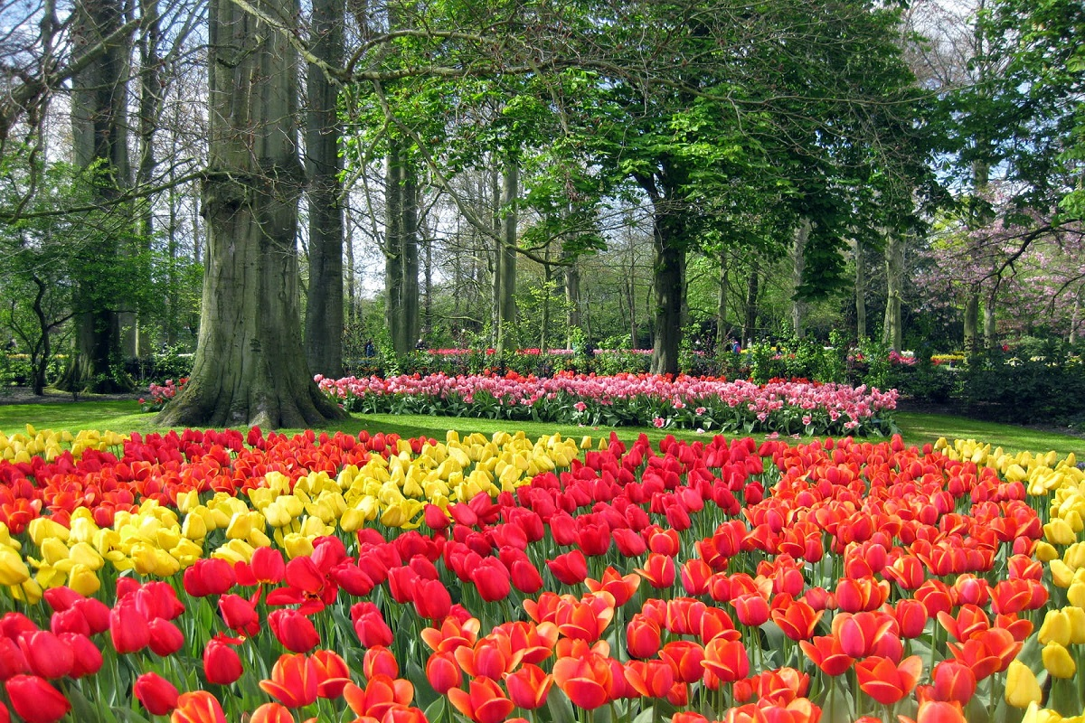 IMG 3798 - Мои голландские тюльпанчики!