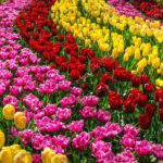 depositphotos 106285418 stock photo beautiful spring flowers in keukenhof 150x150 - Туры в парк цветов Кёкенхоф