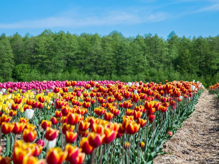 15535138975c98bda97e575 - Волинська Голландія: Луцьк + долина тюльпанов