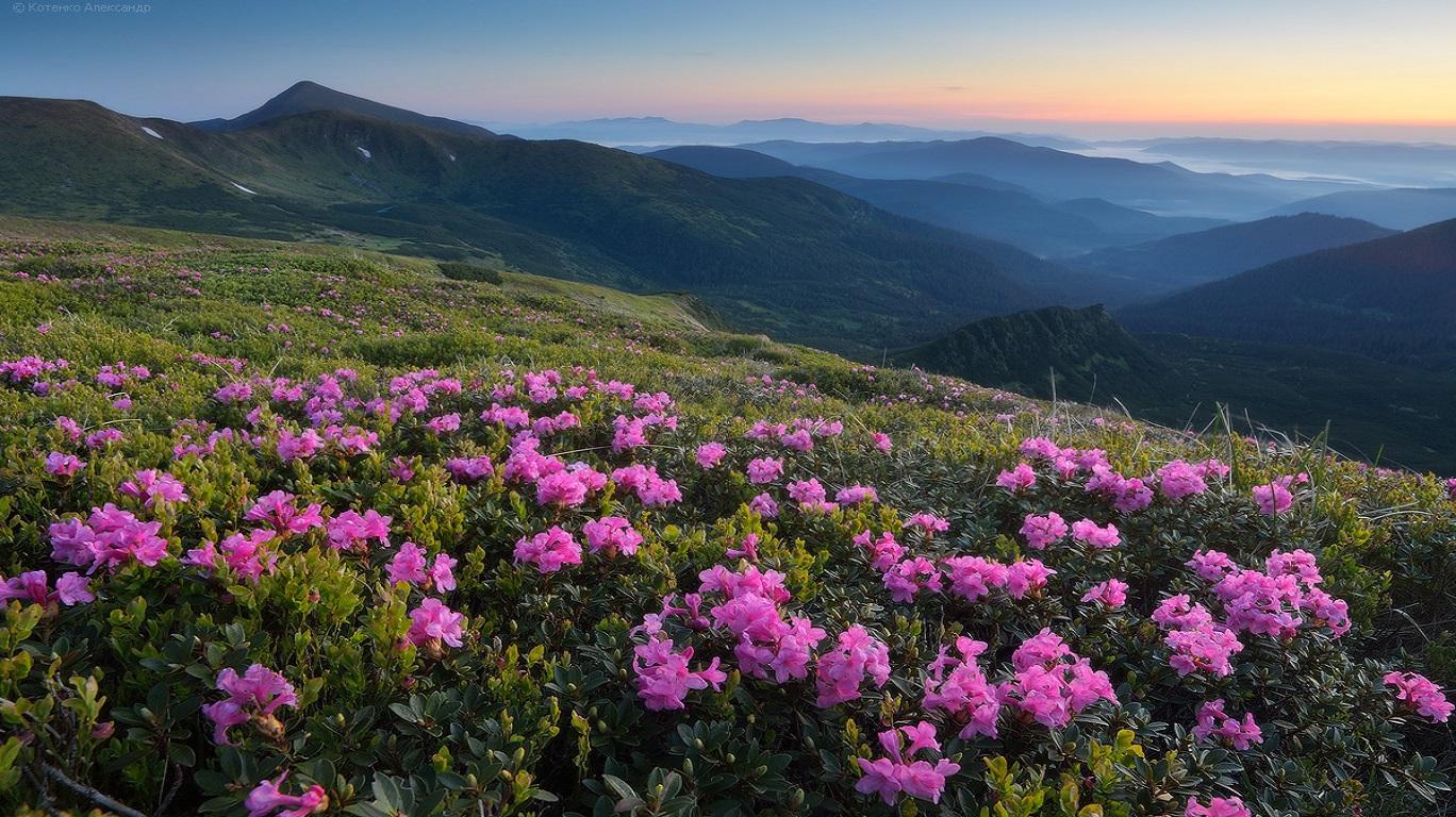 blooming-rhododendron-ukrainian-carpathians-2
