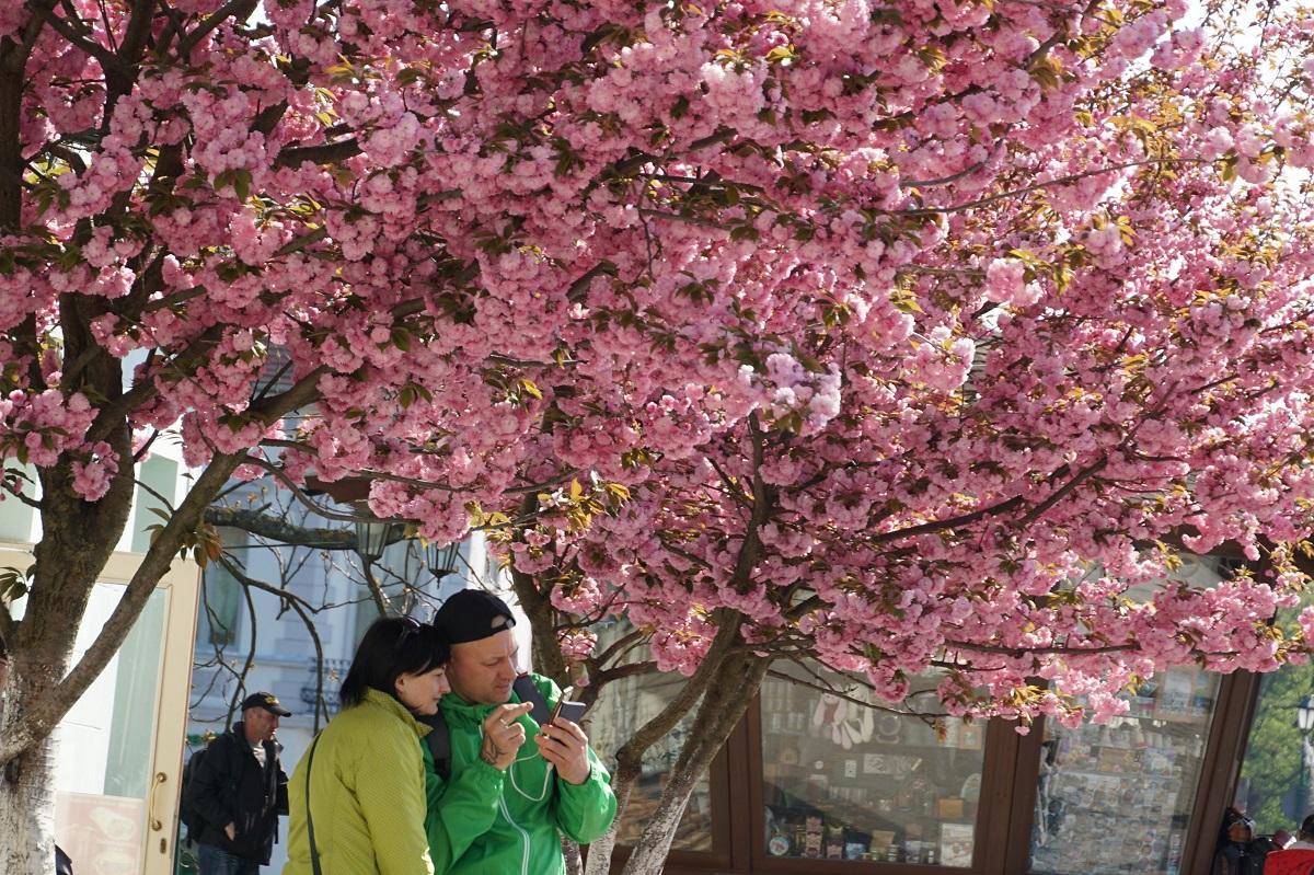 1555520754 8027 - Неймовірне Закарпаття у цвіті сакури