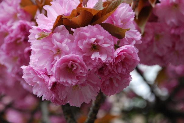 """148949035258c7d1b07eb5d - Релакс-тур """"Термальне Закарпаття"""" + цвітіння сакури"""