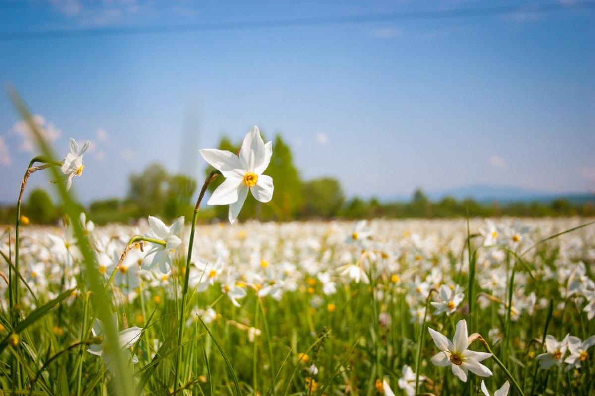 46496 original - Чарівне Закарпаття + цвітіння нарцисів